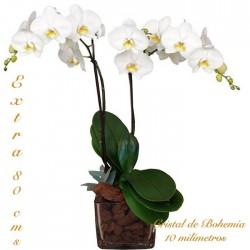 Orquídea phalaenopsis cristal clear