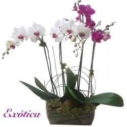 Centros de orquídeas Goa.