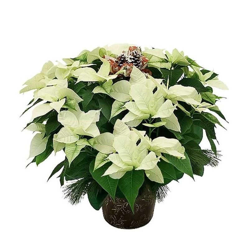Flor de pascua blanca.