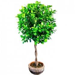 Ficus trenzado de copa