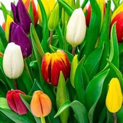 Enviar tulipanes de colores en Madrid.