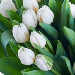 Envío de tulipanes blancos a domicilio en Madrid.