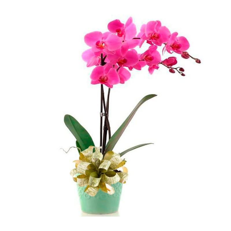 Orquídea phalaenopsis fucsia