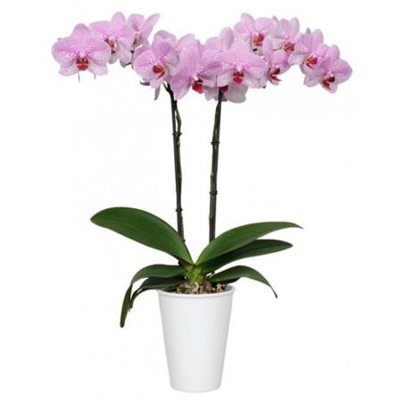 Orquídea rosa pictea