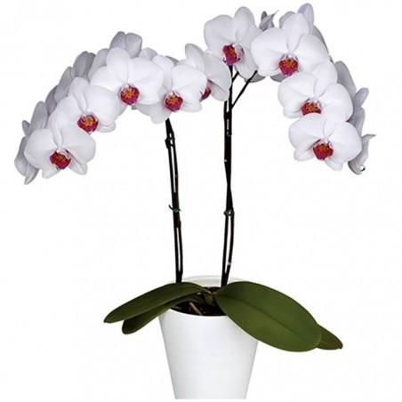 Orquídea phalaenopsis bicolor
