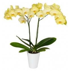 Orquídea phalaenopsis Perla