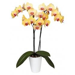 Orquídea amarilla Bicolor.