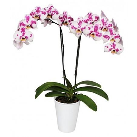 Orquídea phalaenopsis Moteada