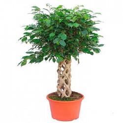 Ficus Daniell trenzado