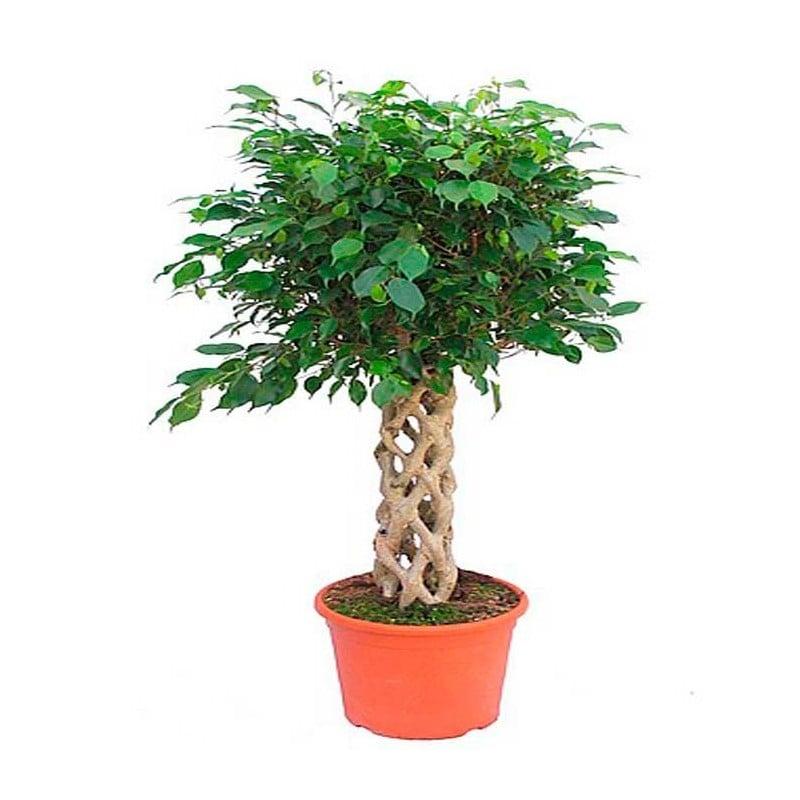 Enviar plantas a domicilio en madrid ficus daniel de - Ficus benjamina precio ...