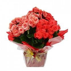 Begonia Elatior roja.