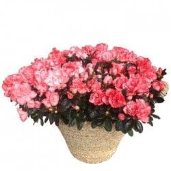 Cesta de plantas de azaleas
