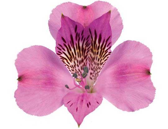 Alstroemeria color lavanda