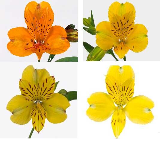 astromelia el lenguaje de las flores