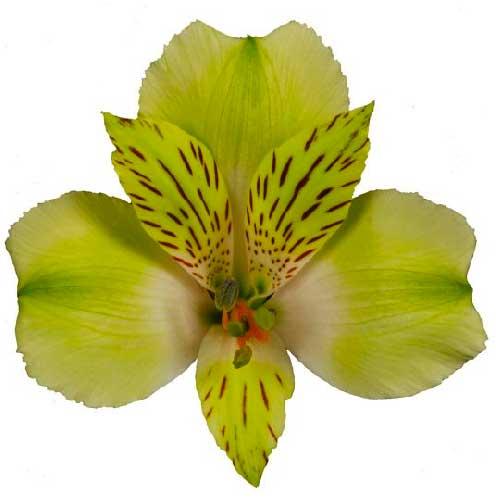 astromelia verde y amarilla