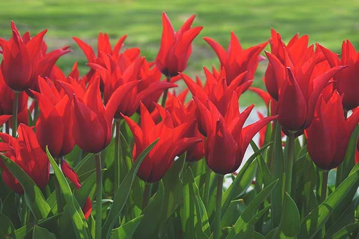 ramos de tulipanes rojos